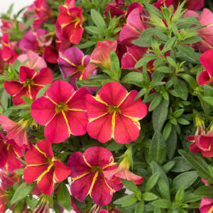 Calibrachoa 'Aloha Nani® Red Cart Wheel' – Dúsvirágú petúnia