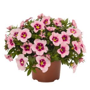 Calibrachoa 'Bloomblastic® Rose Quartz' – Dúsvirágú petúnia