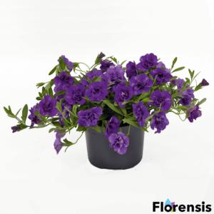 Calibrachoa 'Can-Can® Rosies Blue' – Dúsvirágú petúnia