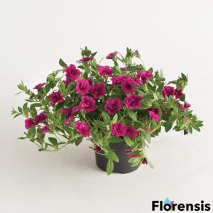 Calibrachoa 'Can-Can® Rosies Magenta' – Dúsvirágú petúnia