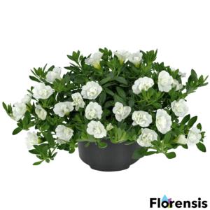 Calibrachoa 'Can-Can® Rosies White' – Dúsvirágú petúnia