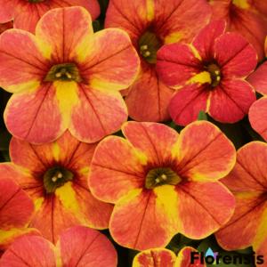 Calibrachoa 'Chamaleon® Indian Summer' – Dúsvirágú petúnia
