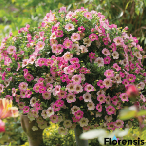 Calibrachoa 'Chamaleon® Pink Passion' – Dúsvirágú petúnia