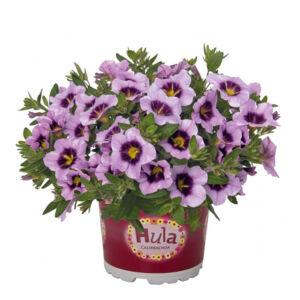 Calibrachoa 'Hula® Lavender' – Dúsvirágú petúnia