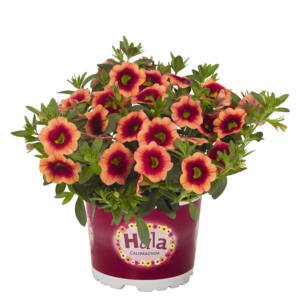 Calibrachoa 'Hula® Orange' – Dúsvirágú petúnia