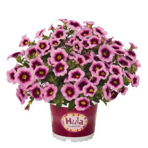 Calibrachoa 'Hula® Soft Pink' – Dúsvirágú petúnia
