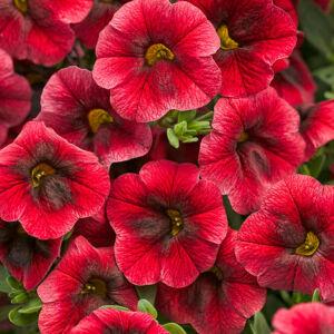 Calibrachoa 'Superbells® Pomegranate Punch' – Dúsvirágú petúnia