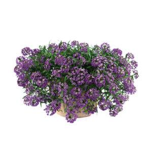 Lobularia hybrid 'Stream® Purple' – Illatos ternye (mézvirág)