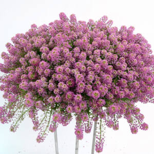Lobularia hybrid 'Stream® Raspberry' – Illatos ternye (mézvirág)