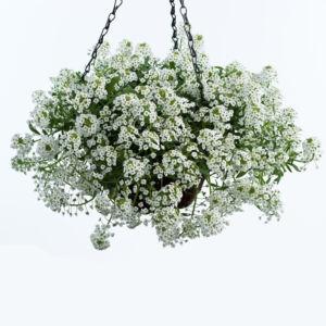 Lobularia hybrid 'Stream® White' – Illatos ternye (mézvirág)