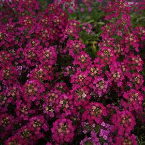 Lobularia maritima 'Easter Bonnet® Deep Rose' – Illatos ternye (mézvirág)