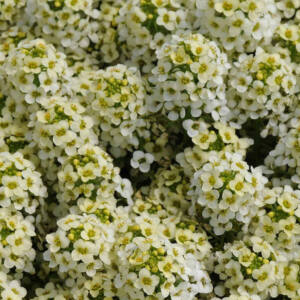 Lobularia maritima 'Easter Bonnet® Lemonade' – Illatos ternye (mézvirág)