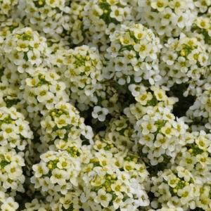 Lobularia maritima 'Easter Bonnet® Lemonade' – Illatos ternye (mézvirág)