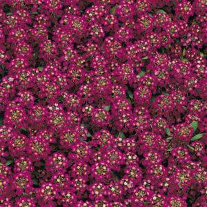 Lobularia maritima 'Easter Bonnet® Violet' – Illatos ternye (mézvirág)