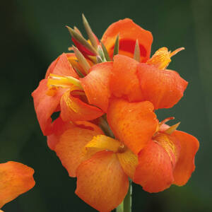 Canna x generalis 'Cannova® Orange' – Kánna