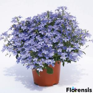 Lobelia erinus 'Hot® Waterblue' – Törpe lobélia