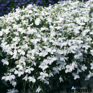 Lobelia erinus 'Palace® White' – Törpe lobélia