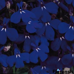 Lobelia erinus 'Riviera® Midnight Blue' – Törpe lobélia