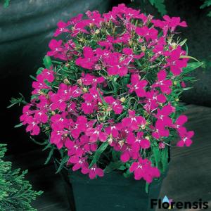 Lobelia erinus 'Riviera® Rose' – Törpe lobélia