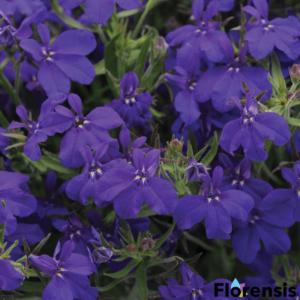Lobelia hybrid 'Springs® Dark Blue' – Lobélia