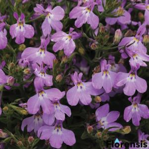 Lobelia hybrid 'Springs® Lavender' – Lobélia