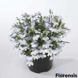Lobelia hybrid 'Springs® White' – Lobélia
