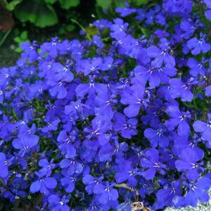 Lobelia 'Lido® Blue' – Lobélia