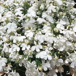 Lobelia 'Lido® White' – Lobélia