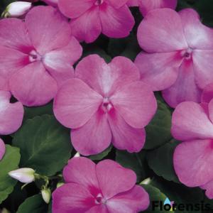 Impatiens walleriana 'Dezire® Lavender' – Nebáncsvirág