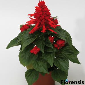 Salvia splendens 'Mojave® Red' – Paprikavirág