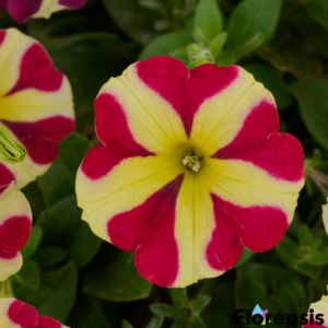 Petunia 'Amore® Queen of Hearts' – Petúnia