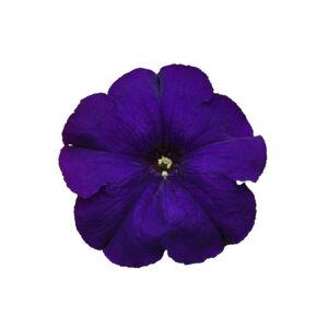 Petunia grandiflora 'Cima® Compact Blue' – Petúnia
