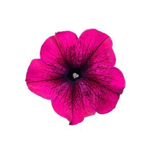 Petunia grandiflora 'Cima® Compact Burgundy' – Petúnia