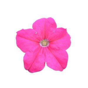 Petunia grandiflora 'Cima® Compact Rose' – Petúnia