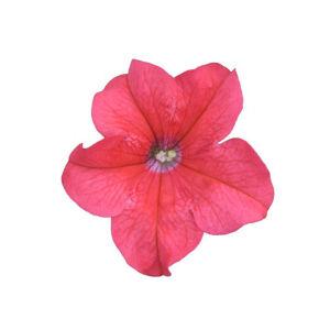 Petunia grandiflora 'Cima® Compact Salmon' – Petúnia