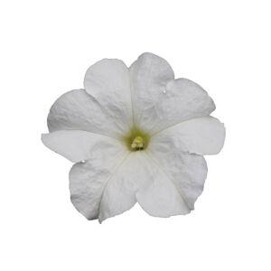 Petunia grandiflora 'Cima® Compact White' – Petúnia