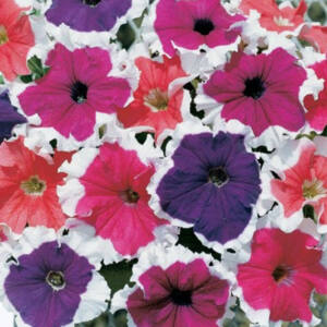 Petunia grandiflora 'Cima® Frosted Mix' – Petúnia