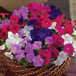 Petunia grandiflora 'Cima® Mini Mix' – Petúnia