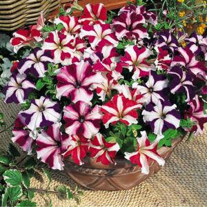 Petunia grandiflora 'Cima® Star Mix' – Petúnia
