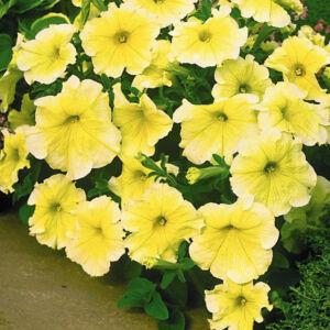 Petunia grandiflora 'Cima® Sunshine' – Petúnia