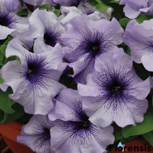 Petunia grandiflora 'Pacta Parade® Blue Vein' – Petúnia