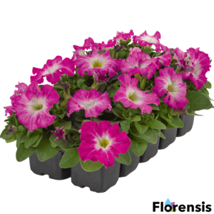 Petunia grandiflora 'Pacta Parade® Rose Morn' – Petúnia