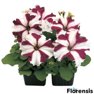 Petunia grandiflora 'Parade® Crimson Star' – Petúnia