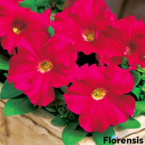 Petunia grandiflora 'Parade® Deep Rose' – Petúnia