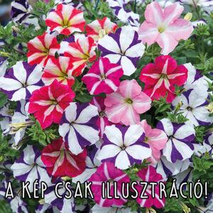 Petunia grandiflora 'Parade® Star mix' – Petúnia