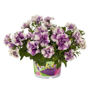 Petunia 'Origami® Lavender Touch' – Petúnia