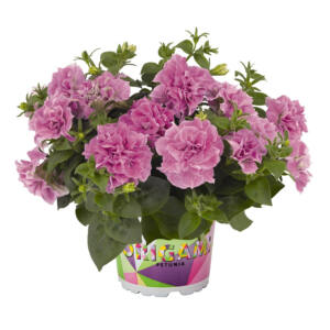 Petunia 'Origami® Pink' – Petúnia