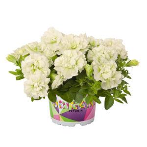 Petunia 'Origami® White' – Petúnia