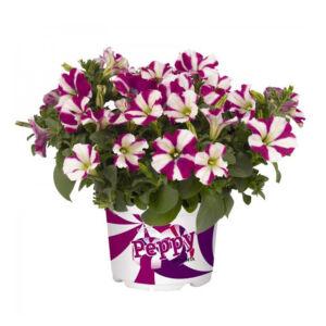 Petunia 'Peppy® Purple' – Petúnia