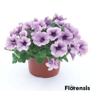 Petunia 'Surfinia® Compact Purple Vein' – Petúnia